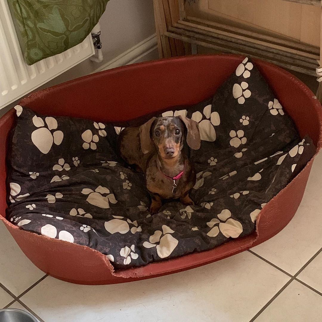 I'm in a big basket ! #doggo #dogsofinstagram #dachsundsofinstagram